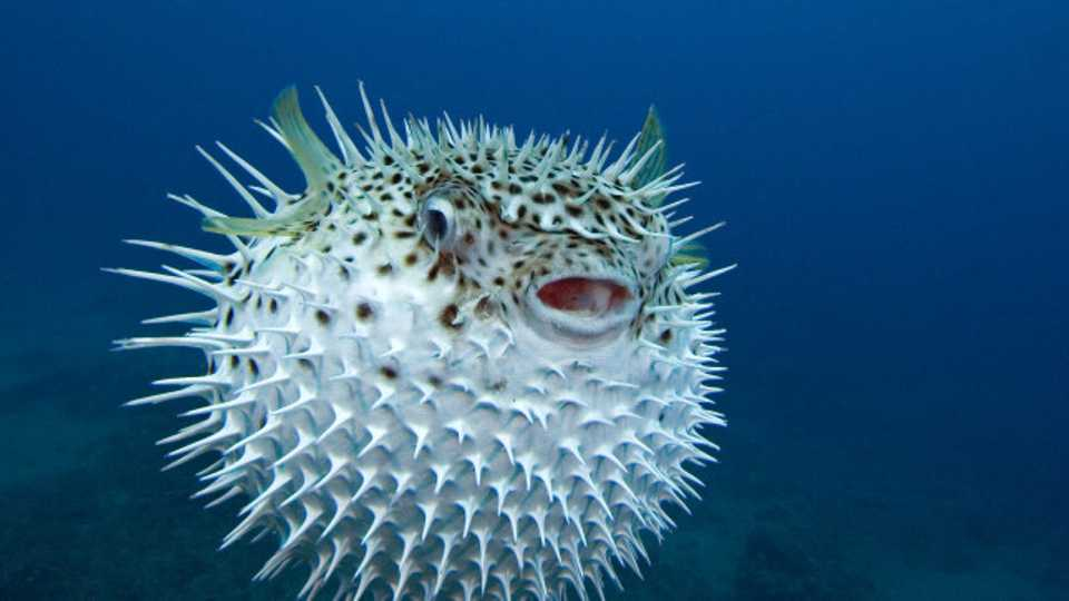 family paralysed after mistakenly eating deadly pufferfish closer